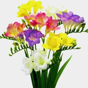 букет от 11 фрезии - Онлайн магазин за доставка на цветя в саксия Magic Flowers