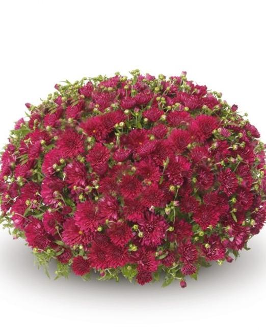 Хризантема - Доставка на цветя в саксия Magic Flowers