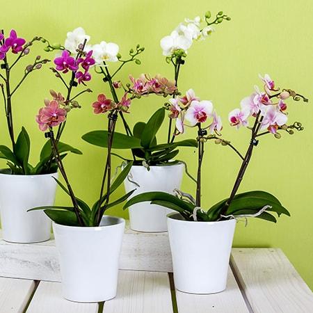 Орхидея - Цветя в саксия Magic Flowers