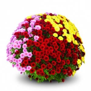 Трицветни хризантеми - Доставка на саксийни цветя в саксия Варна Magic Flowers