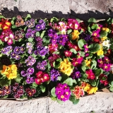 Сет от десет броя иглика - Доставка на цветя Magic Flowers