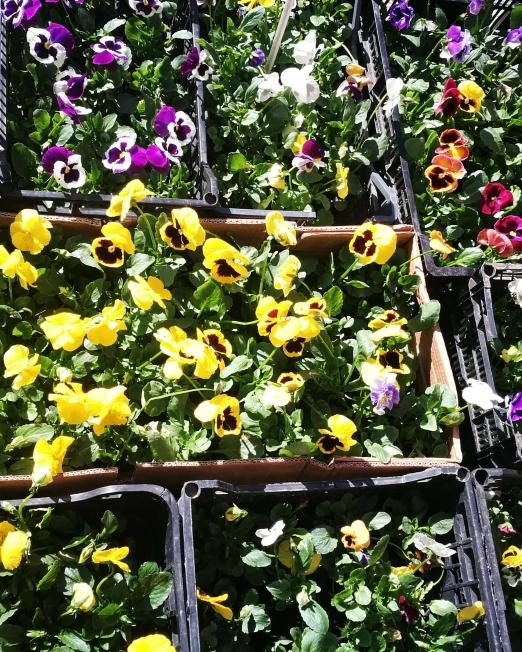 Сет от десет броя теменужки - Саксийни цветя Magic Flowers