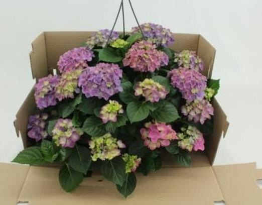 хортензия - доставка на цветя Magic Flowers