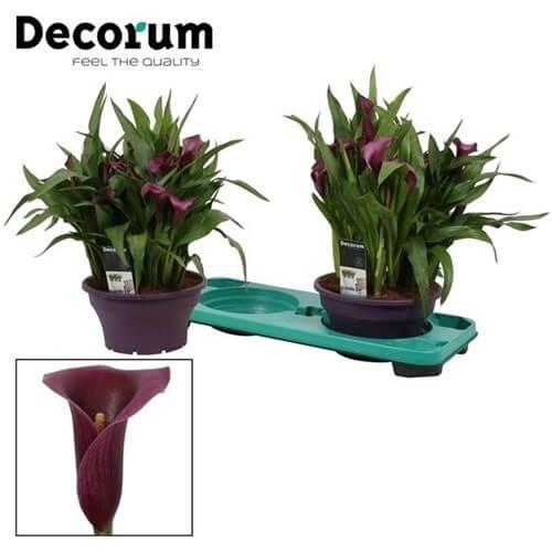 лилави кали - доставка на цветя Magic Flowers