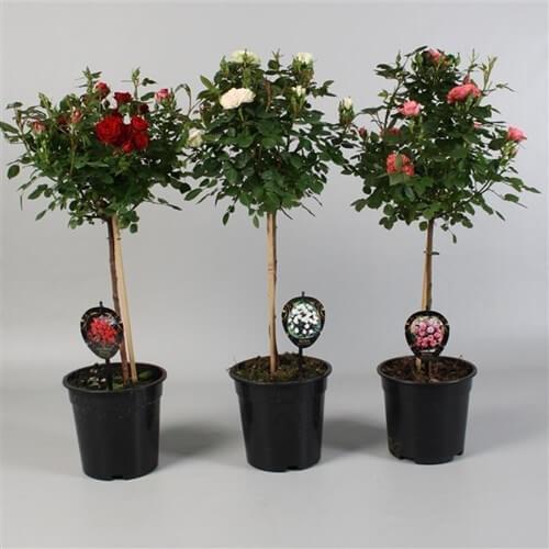 роза дръвче - доставка на цветя Magic Flowers