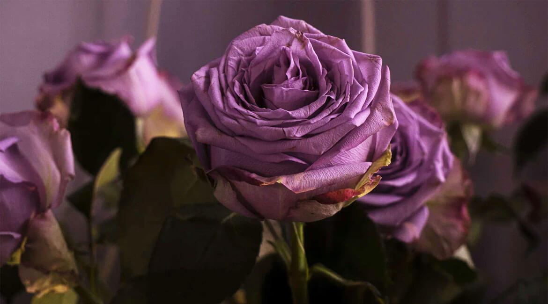 Магичните цветове на розата – 1 част