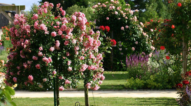 Какво трябва да знаете при отглеждането на роза дръвчета